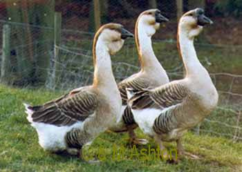 African goose vs chinese goose - photo#23