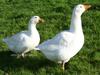 Czech geese