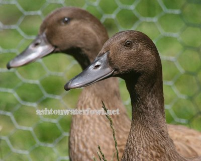 Khaki Campbell Ducks