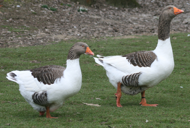 African goose vs chinese goose - photo#18