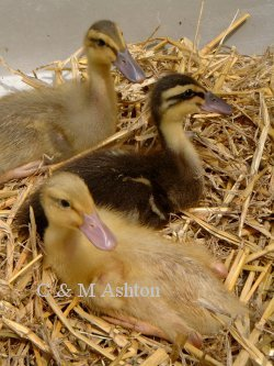 Ducklings- bBlue, normal, apricot Trout